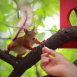 Woman hand feeding red squirrel sitting on branch on forest back — Stock Photo