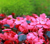 Bright pink flowers on green background — Foto Stock