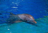 Resting dolphin in bright blue swimming pool — Stock Photo