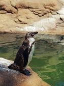 Penguin bird sitting on stone near the sea — Stock Photo