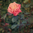 Beautiful vintage pink rose outdoors summer green background — ストック写真