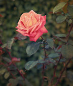 Beautiful vintage pink rose outdoors summer green background — Stok fotoğraf