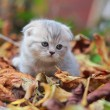 Cute British grey kitten on autumn nature background — Stock Photo
