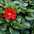 Beautiful red flower among green leaves — Stock Photo