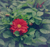 Beautiful red flower color background among green leaves — Foto de Stock