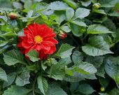 Beautiful red flower among green leaves — Foto de Stock