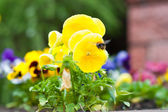Pansies and the bee — Stock Photo