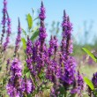 Stock Photo: Wild lavender