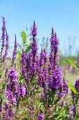 Wild lavender — Stock Photo