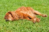 Lazy dog — Stock Photo