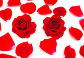 Two red roses and petals over white — Stock Photo