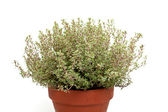 Thyme in clay pot — Stock Photo