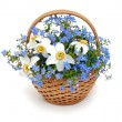 Forget-me-not flowers in a basket over white — Stok fotoğraf