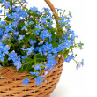 Forget-me-not flowers in a basket over white — Stock Photo