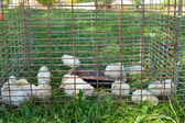 Chicken babies in cage on grass — Stock Photo