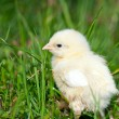 Chicks on grass — Stock Photo