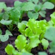 Lettuce and radishes growing — Stock Photo