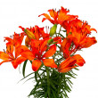 Orange lilies isolated on white background — Stock Photo