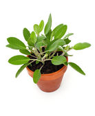 Sage in pot — Foto Stock