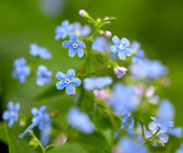 Forget-me-not flowers after the rain — Stock Photo