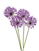 Allium flowers iaolated on white — Stock Photo