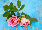 Pink roses on blue wooden background — Stock Photo