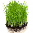 Grass isolated on white background — Stock Photo