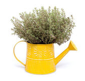 Thyme in pot — Stock Photo