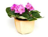 Pink violet flower in pot — Stock Photo
