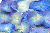 Blue and purple hydrangea close up — Stock Photo