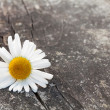 Chamomile flower on wooden table — Stock Photo