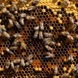 Honey and honey bees working — Foto Stock