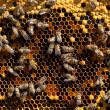 Honey and honey bees working — Foto de Stock