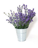Lavender isolated on white background — Foto de Stock