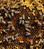 Honey and honey bees working — Stock Photo