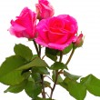 Pink fresh roses — Stock Photo #29603005