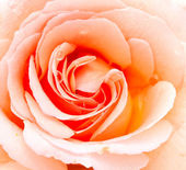 Orange rose close up — Stock Photo
