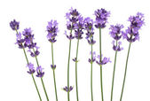 Bunch of lavender — Foto de Stock