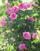 Beautiful bush of pink roses — Stock Photo