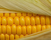 Fresh corn cob — Stock Photo