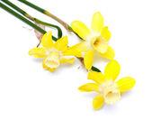 Three beautiful narcissus flowers — Stock Photo