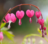Blossoms of bleeding heart flowers — 图库照片