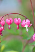 Blossoms of bleeding heart flowers — Foto Stock