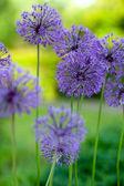 Decorative garlic flowers — Stock Photo