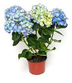 Blue and purple hydrangea — Stock Photo