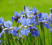 Beautiful iris flowers — Stock Photo