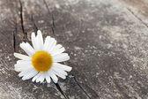 Flor de manzanilla en la mesa de madera — Foto de Stock