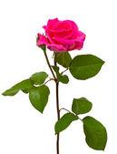 Pink fresh rose — Stock Photo