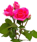 Pink fresh roses — Stock Photo