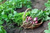 корзина с редисом и других овощей — Стоковое фото